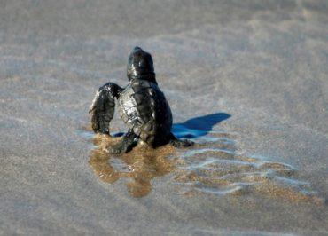 Eco-Tour Baby Turtle Release & Tres Palos Lagoon $73 – $83USD